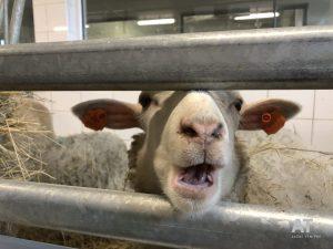 Stáje ČZU - ovce